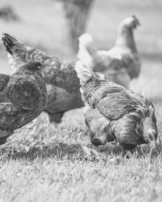 Field Performance Chicken Working Gun Dog Food - Hunters Natural